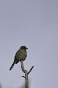 Northern Shrike perched and watching