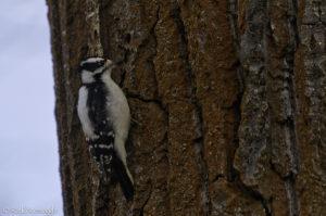 Cooperative Downy Woodpecker