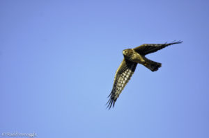 Flight shot of a Northern Harrier female