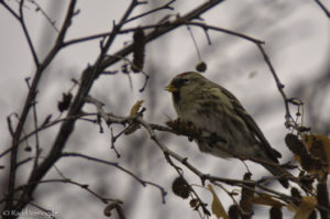 Common Redpoll in an alder