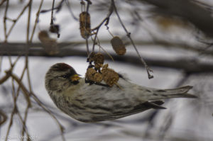Common Redpoll handing on an alder catkin
