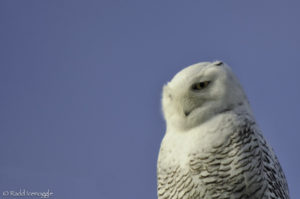 Snowy Owl being not the least bit concerned