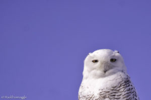 The best Snowy Owl image I have been able to capture.