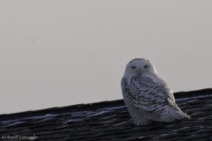 Snowy Owl on top of house - not exactly natural