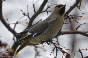 "The noble Bohemian Waxwing. Note the red ""waxy"" bead on the wing"