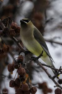 Brightly plumaged Cedar Waxwing