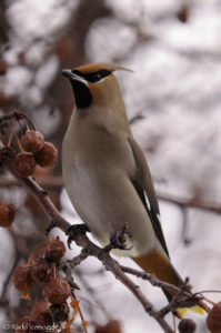Bohemian Waxwing in a classic pose