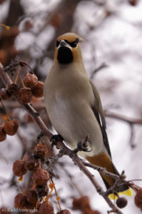 A rather stylish Bohemian Waxwing