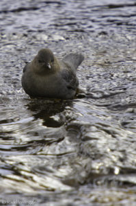 The American Dipper at home in the riffles