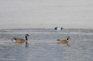 Presumptive Cackling Goose in the left