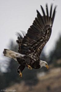 Subadult/basic IV Bald Eagle