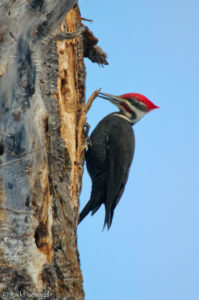 Pileated Woodpecker preparing a nest hole