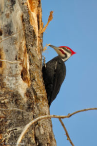 Vertical Pileated Woodpecker