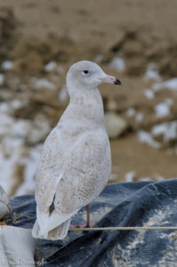 Glaucous Gull standing at attention