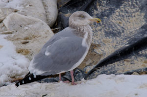Vicious-looking Herring Gull