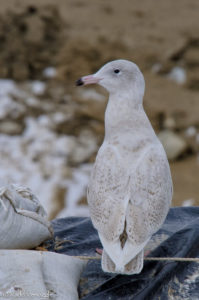 Posed out Glaucous Gull