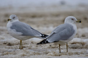 Ring-billed Gulls in the semi-frozen mud