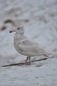 Glaucous Gull strolling