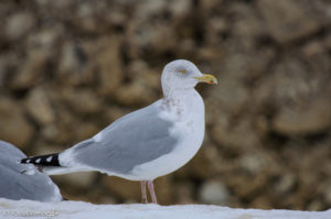 Herring Gull with pink legs