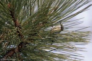 Typical view of the Pygmy Nuthatch