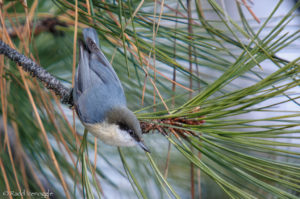 Pygmy Nuthatch in full view