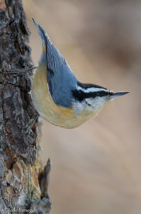 Foraging partner - Red-breasted Nuthatch