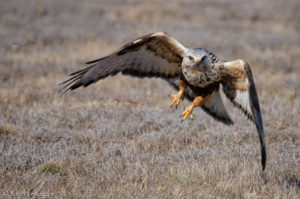 Rough-legged Hawk launching into flight