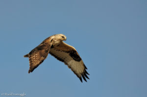 Rough-legged Hawk hover flight pattern 1