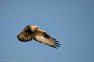 Rough-legged Hawk hover flight pattern 2