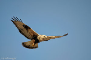 Rough-legged Hawk hover flight pattern 3