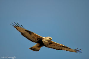 Rough-legged Hawk hover flight pattern 4