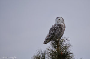 Snowy Owl from Polson Hill
