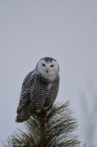 Piercing gaze of the Snowy Owl
