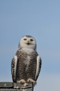 One last look at a Snowy Owl?