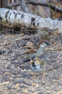 Nice comparison between the Harris's Sparrow and his companion House Sparrows
