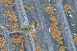 When The Harris's Sparrow jumped on the barn roof