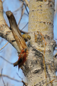 Pair of Red Crossbills exchange a glance