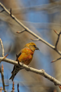 Female Red Crossbill being characteristically yellow