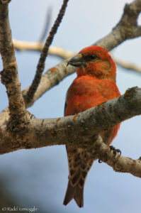 The emblematic character of the Red Crossbill