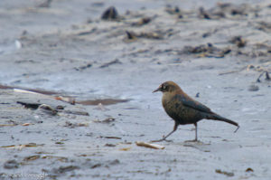 Rusty Blackbird taking a rainy stroll