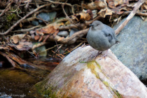 Plumped up American Dipper