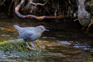 American Dipper standing mid-stream