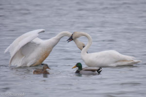 """The swan way of saying """"Come here often?"""""""