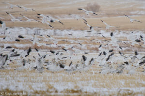 Scores of feeding Snow Geese