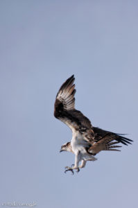 Osprey in full dive
