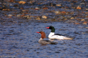 Bitterroot River is home to many pairs of Common Mergansers