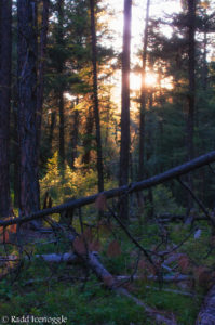 Sunset through Flammulated Owl habitat